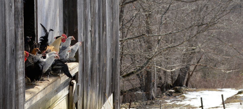 SOVAL-05.fob.original_chickens.TAFT_HILL_CHICKENS_CONTEMPLATE_FREEDOM_ON_1RST_DAY_OF_SPRINGcrop