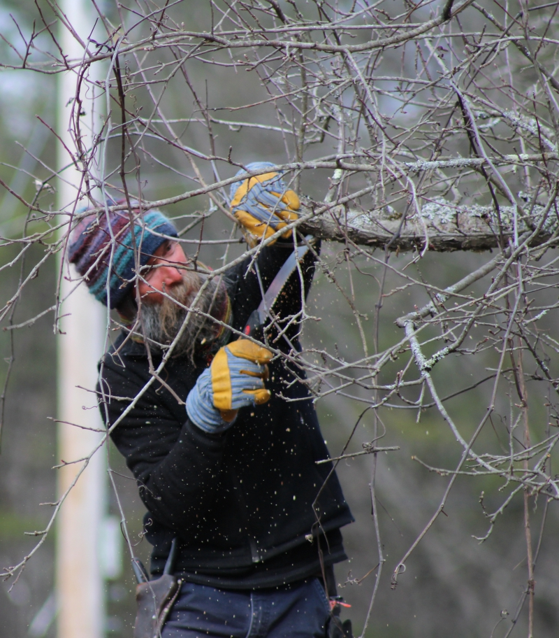 Zeke Goodband maintains one of the trees in the Scott Farm orchard.